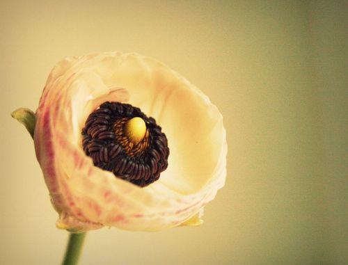 Ranunculus2